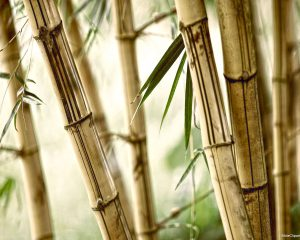 Bamboo Nature Background